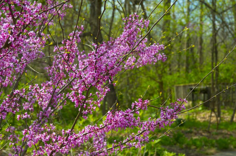 Flowers;Flower;Indiana;Spring;Spring Flowers;Green;Pink;Hamilton County;Macro Flora;Red Buds