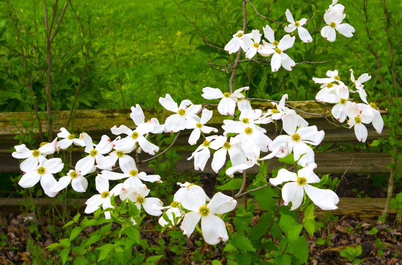 Flower;flowers;dogwood;dogwoods;white;green;split rail fence;Indiana;Midwest;flora
