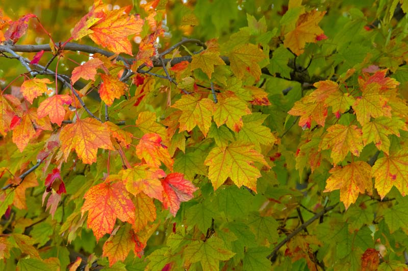 Fall colors;fall leaf color;leaves;Indiana;Midwest;beauty;beauty in nature;pink;red;orange;green;Maple tree