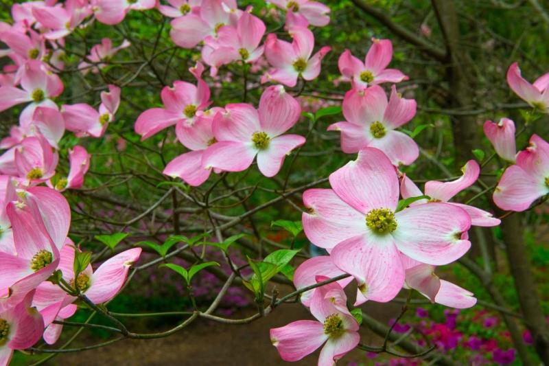 Flowers;Flower;Indiana;Spring;Green;Woods;Gibson County;pink;Midwest;Dogwood;flora