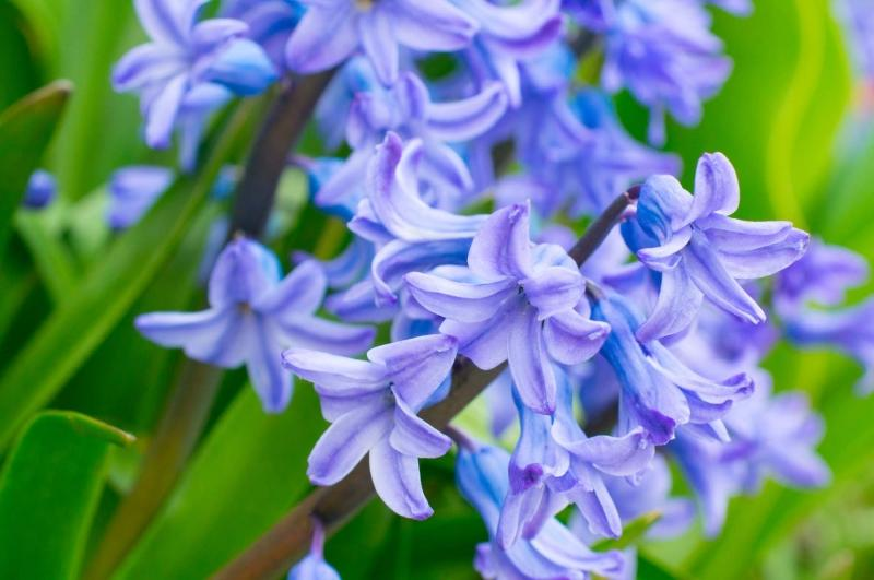 Flowers;Spring Flowers;Blue;Howard County;Indiana;Macro;Flora;Nature