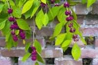 Berries;Bluffton;South-Carolina;green;purple;southeast