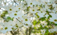 Flowers;Spring-Flowers;white-Howard-County;Indiana;Macro;Flora;Nature;tulip-tree;Midwest;Dogwood