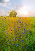 Flowers;wild-flowers-Howard-County;Sunrise;blue;green;gold;Midwest;flora;nature;vertical