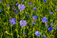 Flowers;wild-flowers;blue;green;Indiana;Midwest;Howard-County
