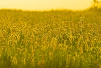 Grain-field;Fulton-Counthy;gold;golden;Indiana;Midwest;sunrise