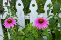 Flowers;flora;pink;picket-fence;white;green;Indiana;Midwest;nature;Howard-County;Macro