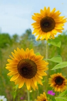 Flowers;Yellow;Howard-County;Indiana;Macro;Flora;Nature;Indiana;green;Sun-flowers;vertival
