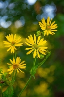 Flowers;Yellow;Howard-County;Indiana;Macro;Flora;Nature;Indiana;green;Wild-flowers;vertival
