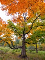Tree;Oak;orange;fall-colors;fall-leaf-color;Indiana;Midwest;rural;vista;green;medow;beauty;beauty-in