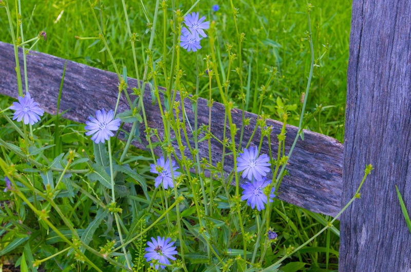 Flowers;flower;corn flower;blue;green;gray;weathered wood;Indiana;Midwest;rural