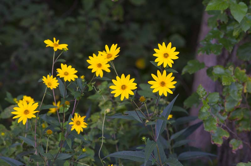 Flower;flowers;yellow;Indiana;Midwest;Fulton County;wildflowers