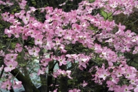 Flowers;Flower;Indiana;Spring;Spring-Flowers;Pink;Woods;Gibson-County;Midwest;Dogwood;Dogwoods