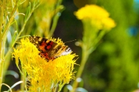 Butterfly;animal;yellow;orange;green;Colorado;flower;flora