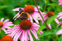 Flowers;flora;purple;green;Indiana;Midwest;nature;Howard-County;Macrobutterfly