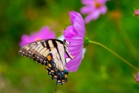 Butterfly;pink;green;yellow;Howard-County;Indiana;Nature;flower;wild-flowers