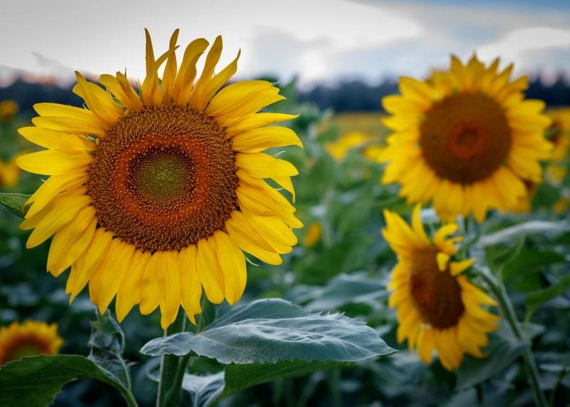 Ozarks;sunflowers;sunflower field;flowers;nature;landscape;yellow;green;plants;sky;clouds;sunrise;plants;horizontal