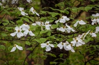 Ozarks;spring;trees;dogwoods;blossoms;flowers;green;white;pine-trees;nature;landscape;horizontal