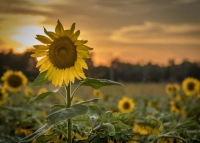 Ozarks;sunflowers;sunflower-field;flowers;nature;landscape;yellow;green;plants;sky;clouds;sunrise;pl