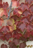 red;leaves;nature;autumn;fall;foliage;vine;vertical
