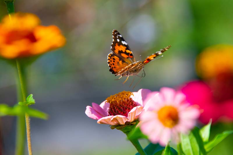 Butterfly;yellow;orange;Indiana;Howard County;Nature;Midwest;pink;macro;flower;beauty;landing