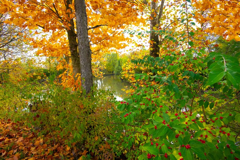 Indiana;Midwest;rural;Fall Colors;Fall leaf color;orange;stream;creek;berry;red;beauty;peaceful;Green;Howard County