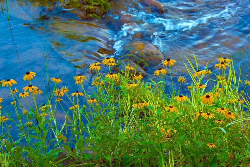 Flowers;wild flowers;yellow;stream;brook;Indiana;Midwest;nature;Hamilton County