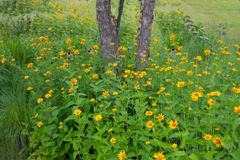 Flowers;wild flowers;Woods;woodland;rural;yellow;Indiana;Midwest;Hamilton County;green;trees;beautiful