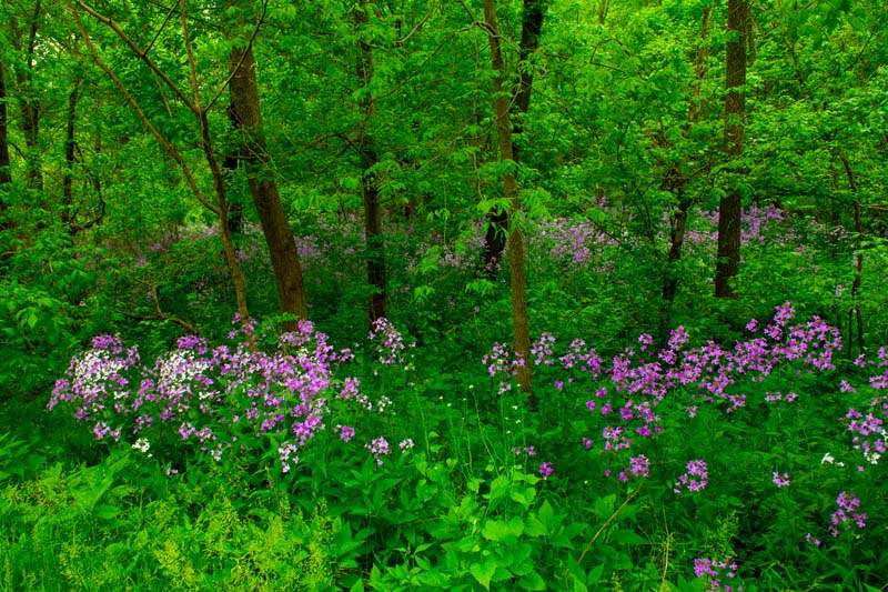 Flowers;wild flowers;Woods;woodland;rural;purple;flax;Indiana;Midwest;Howard County;green;trees;beautiful
