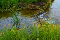 Flowers;flower;wild-flowers;Indiana;yellow;green;Midwest;Hamilton-County;Stream;Moving-water;creek;b