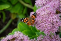 Butterfly;yellow;orange;Indiana;Howard-County;Nature;Midwest;pink;beauty;green;Painted-Lady