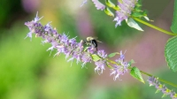 Indiana;Midwest;rural;Bee;Honey-bee;Flower;wildflower;purple;green;insect;beauty