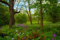 Flowers;wild-flowers;Woods;woodland;rural;purple;flax;Indiana;Midwest;Howard-County;green;trees;beau
