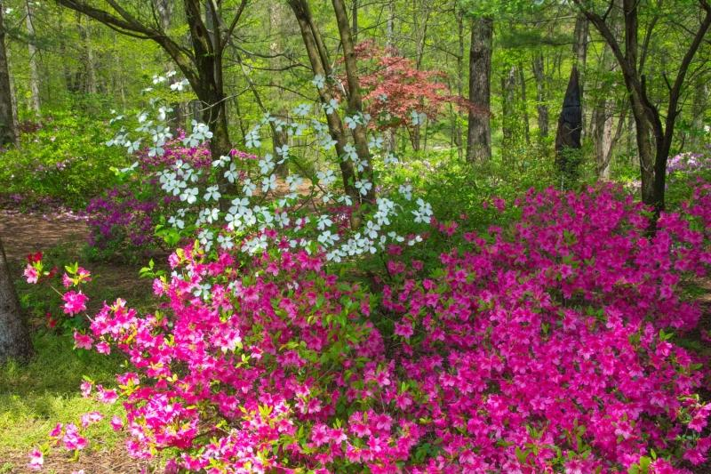 Flowers;Flower;Indiana;Spring;Green;Woods;Gibson County;pink;Midwest;purple;white;Dogwoods