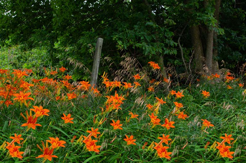 Flowers;Nature;Orange;green;woods;Howard County;Indiana;Midwest;wild flowers;lillies