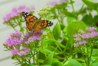 Butterfly;flowers;orange;pink;Indiana;flora