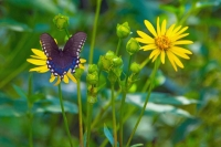Butterfly;black;green;yellow;Howard-County;Indiana;Nature;flower;wild-flowers