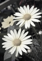 white;partial-color;hand-colored;vertical;flower;flowers;floral;daisy